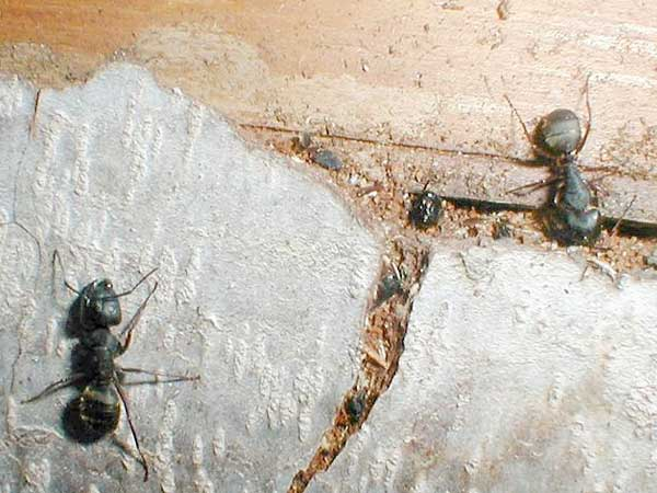 Carpenter ants love working their way into damp basements where there is plenty of water and food.
