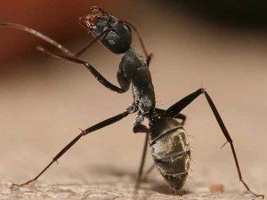 Contact Farmington ME Pest Control today and be carpenter ant free.