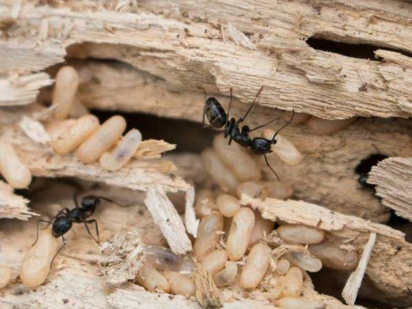 Weld Carpenter Ant Extermination is necessary before they get into the soft wood of your buildings.. Thanks to Credit: China Wong, UNH.