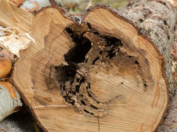 Carpenter Ants love soft rotting firewood sitting on the ground.